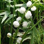 Sagittaria japonica - šípovka vodná