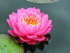 """Nymphaea """"Perry""""s Fire Opal"""""""