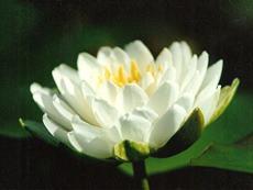 """Nymphaea """"tuberosa Richardsoni"""""""